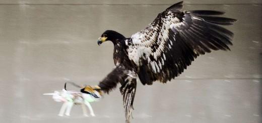Eagle vs drone