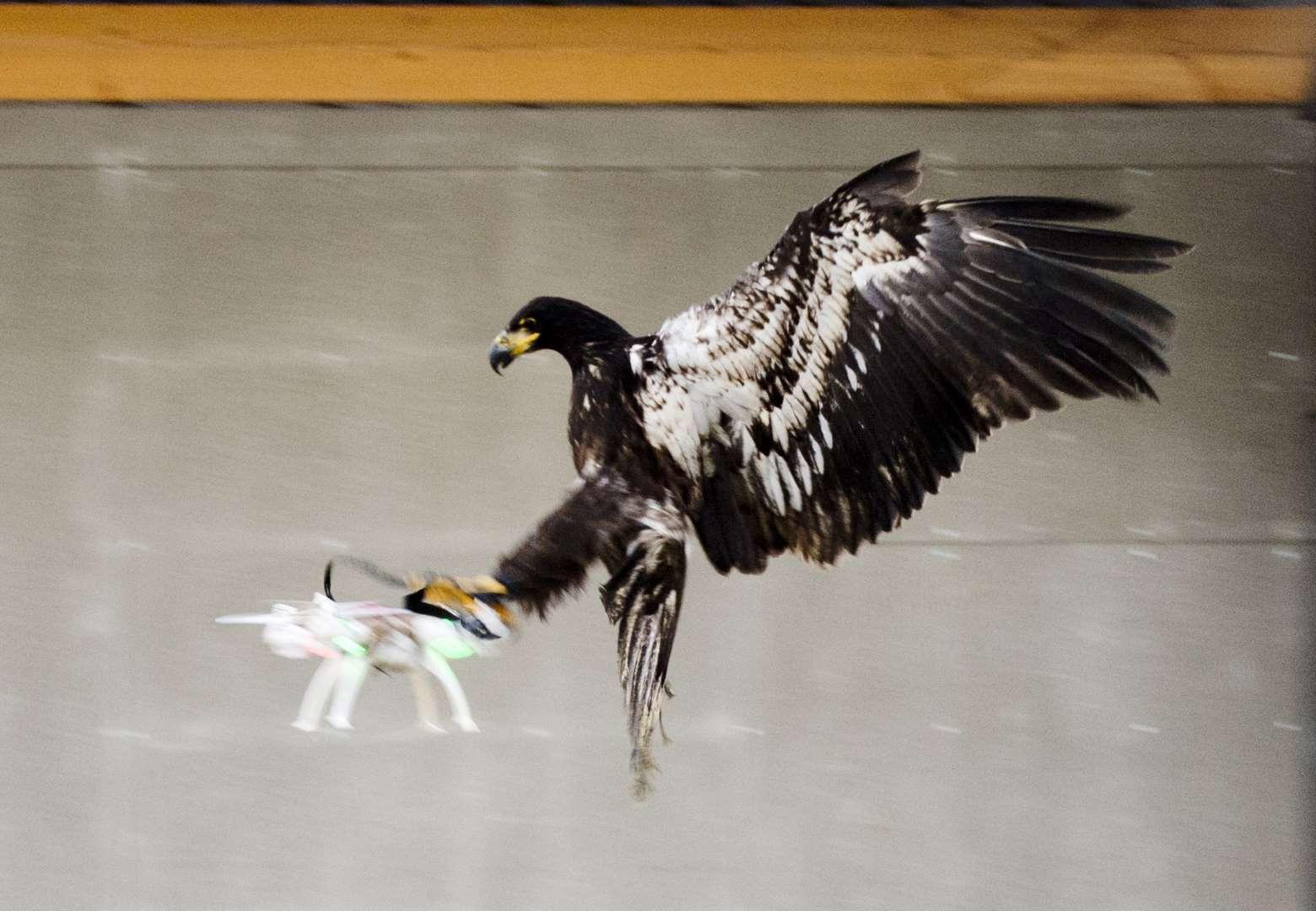 Eagle vs drone | Amsterdam Spoke Magazine